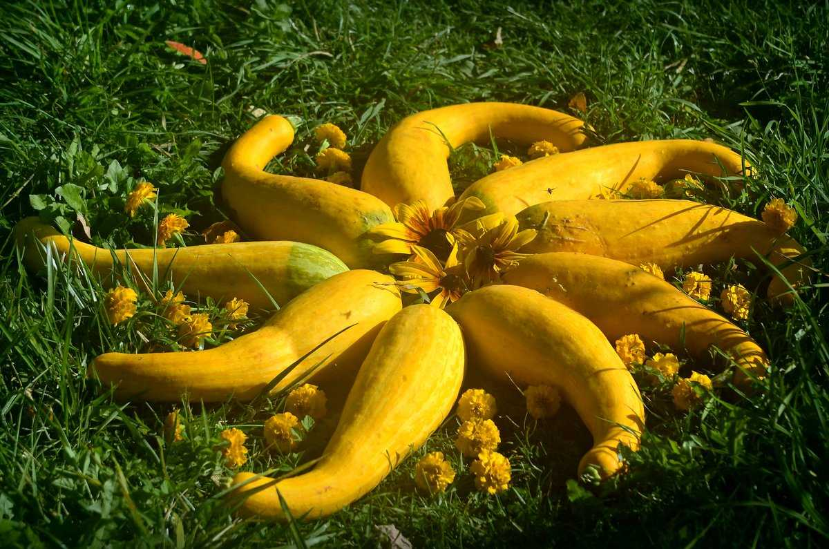 Популярные сорта желтых кабачков цуккини
